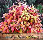 Nana Heavenly Bamboo - Dwarf Heavenly Bamboo Seeds - Nandina domestica Nana Z.6+
