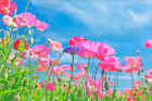 Poster / Leinwandbild Pink Poppies and Blue Sky