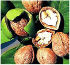 English Walnut, Juglans regia TREE SEEDS - Excellent Shade Tree Edible Rich Nuts