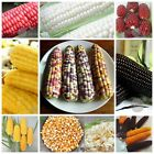 Fruit Corn seeds - Sweet Waxy red black white popcorn maize Non-GMO Heirloom