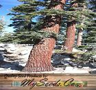 Red Fir - California Red Fir Tree Seeds - Abies magnifica - CHRISTMAS TREE