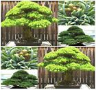 White 5 NEEDLED Pine Tree Seed - Japanese BONSAI - Pinus parviflora Tree Seeds