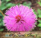 MIMOSA PUDICA SENSITIVE PLANT Flower Seeds - Excellent Indoor House Plant