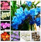 True Freesia Bulbs Indoor Potted Flowers Orchids Rate is High (it is not seed)