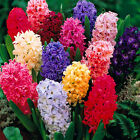 HYACINTH MIXED COLOURS INDOOR OUTDOOR SPRING FLOWERING ORIENTALIS BULBS PLANTS