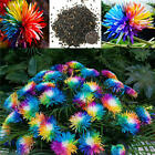 20pc Rainbow Chrysanthemum Flower Seeds Ornamental Bonsai Rare Color Plant