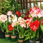 100pcs flower amaryllis Barbadoslily indoor bonsai seeds plant Ornamental Plant