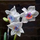 100pcs flower daffodil seeds daffodil bulbs bonsai flower seed aquatic plants do
