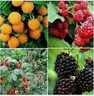 50 seeds JUMBO RED RASPBERRY BUSH SEEDS Rubus Raspberries SWEET Fruit Multicolor