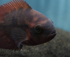 Chocolate Cichlid (Hypselecara temporalis) South American Live Tropical Fish