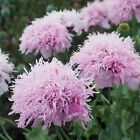 Pompom Blast Lilac Poppy Papaver Somniferum 100 thru 5000 seeds