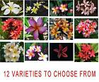 Frangipani Plumeria - 5 Fresh Viable Seeds- Choice of 12 Pretty Varieties