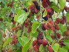 Black Mulberry, Morus nigra, Tree Seeds