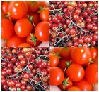 Red Currant Spoon Tomato Seeds - HEIRLOOM - World Smallest Tomatoes 60 - 75 DAYS