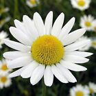earthessence GERMAN CHAMOMILE ~ CERTIFIED 100% PURE ESSENTIAL OIL ~ Therapeutic
