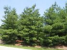 Eastern White Pine Tree Seeds, Pinus strobus, Fast Growing