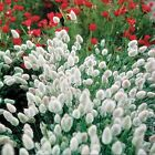 9GreenBox - Bunny Tails Ornamental Grass - 20 Seeds, 250 mg Rare Hard to Find