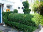 Privet Shrub, Ligustrum vulgare, Seeds (Hardy, Fast, Topiary, Hedge)