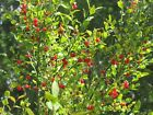 Red Huckleberry, Vaccinium Parvifolium, Shrub Seeds (Edible, Fall Color, Hardy)