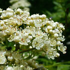 Crataegus Monogyna Hawthorn Quickthorn May Bare Root Hedging Plants 90-120cm