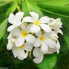 JASMINE LILY 15ml HOME FRAGRANCES FOR OIL BURNER VERY STRONG ESSENTIAL