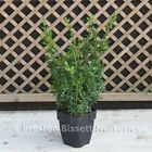 Buxus Sempervirens Box Plant Hedging 40 cm 5 Litre Pot Bushy and full plants