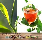 2, 8, Or 16 Tea Plants - Camellia Sinensis Green Black Tea Well Rooted Starters