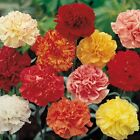 earthessence CARNATION ABSOLUTE ~ CERTIFIED 100% PURE ESSENTIAL OIL Therapeutic