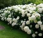 Annabelle Smooth Hydrangea arborescens - Live Plant - 3.5 Inch Pot