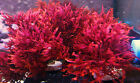 Macro Algae Dragons Breath Fire Red Live Clipping Marine Plant Coral Refugium