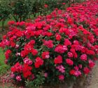 "Red ""Double"" Knockout Rose - Live Plant - Full Gallon Pot"