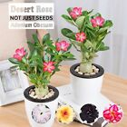 Two-Tune Rare Adenium Obesum Desert Rose New Hybrids Not Just Seeds