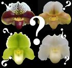 Paph__MYSTERY COMPLEX HYBRID__Orchid Zone breeding unique long-lasting blooms cheap