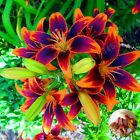Lily Bulbs, Yellow Red Lily Flowers, Rare Flowers, Bonsai Plant, 2 Bulbs