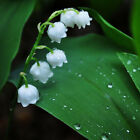 Lily Of The Valley Flower Bulb, Bell Orchid Seeds, Rich Aroma, Color 03