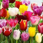 TULIPS TRIUMPH MIXED   In Packs Of 25,50,100,250,500,1000  Bulbs