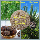Siberian pine nut kernels Cedar from Baikal 100%Natural eco products