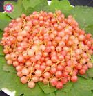 120PCS Red Currant Fruit Plant Pan American Gooseberry Seeds Lantern Perennial F