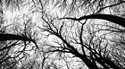 Black And White Image of Tree Trunks HDP0011 Art Print Poster A4 A3 A2 A1