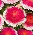 30+ RED POMPON ASTER PERENNIAL FLOWER SEEDS