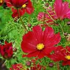 Cosmos 'Dazzler' - Large, bright crimson-red flowers with yellow centers!! WOW!!
