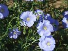 Lewis Flax-Pale, pastel-blue,five-petaled flowers! Very easy to grow! Beautiful!