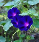 "Morning Glory 'Grandpa Ott' - Dark Purple-blue flowers up to 3"" across!! GREAT!"