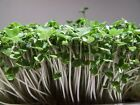 Organic Brown Mustard Sprouting Seeds!! - Grow Your OWN Sprouts !! Very ZESTY!!!