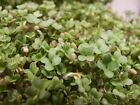 Organic Yellow Mustard Sprouting Seeds! - Grow Your OWN Sprouts !! Very ZESTY!!!