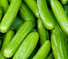 Persian Middle East Cucumber Seeds high yields of 5 to 7