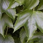 Boston Ivy Vine Seeds (Parthenocissus tricuspidata) 30+Seeds