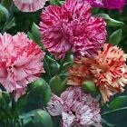 Carnation Chabaud Picotee Mix Flower Seeds (Dianthus Caryophyllus) 50+Seeds