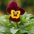 Viola Arkwright Ruby Flower Seeds (Viola Cornuta) 50+Seeds