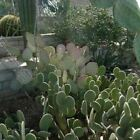 Prickly Pear Cactus Mix Seeds (Opuntia species mix) 20+Seeds